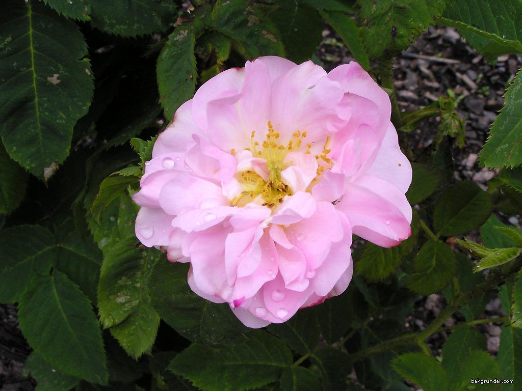 Botánica Aplicada. Terpenos y Plantas Productoras Rosa-damascena-celsiana