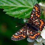 Asknätfjäril Euphydryas maturna