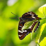 Aspfjäril Limenitis populi