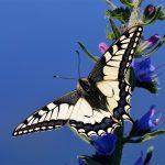 Makaonfjäril Papilio machaon
