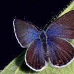 Violett blåvinge Hona Plebejus optilete