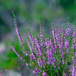 Höstljung Calluna vulgaris