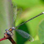 Mindre smaragdflickslända Lestes virens