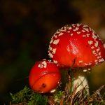 Röd flugsvamp Amanita muscaria
