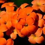 Orange blommor