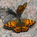 Svingelgräsfjäril Lasiommata megera