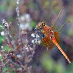 Gulfläckad Ängstrollslända hane Sympetrum flaveolum