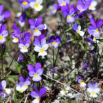 Styvmorsvioler Viola tricolor