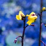 Vattenbläddra Utricularia vulgaris